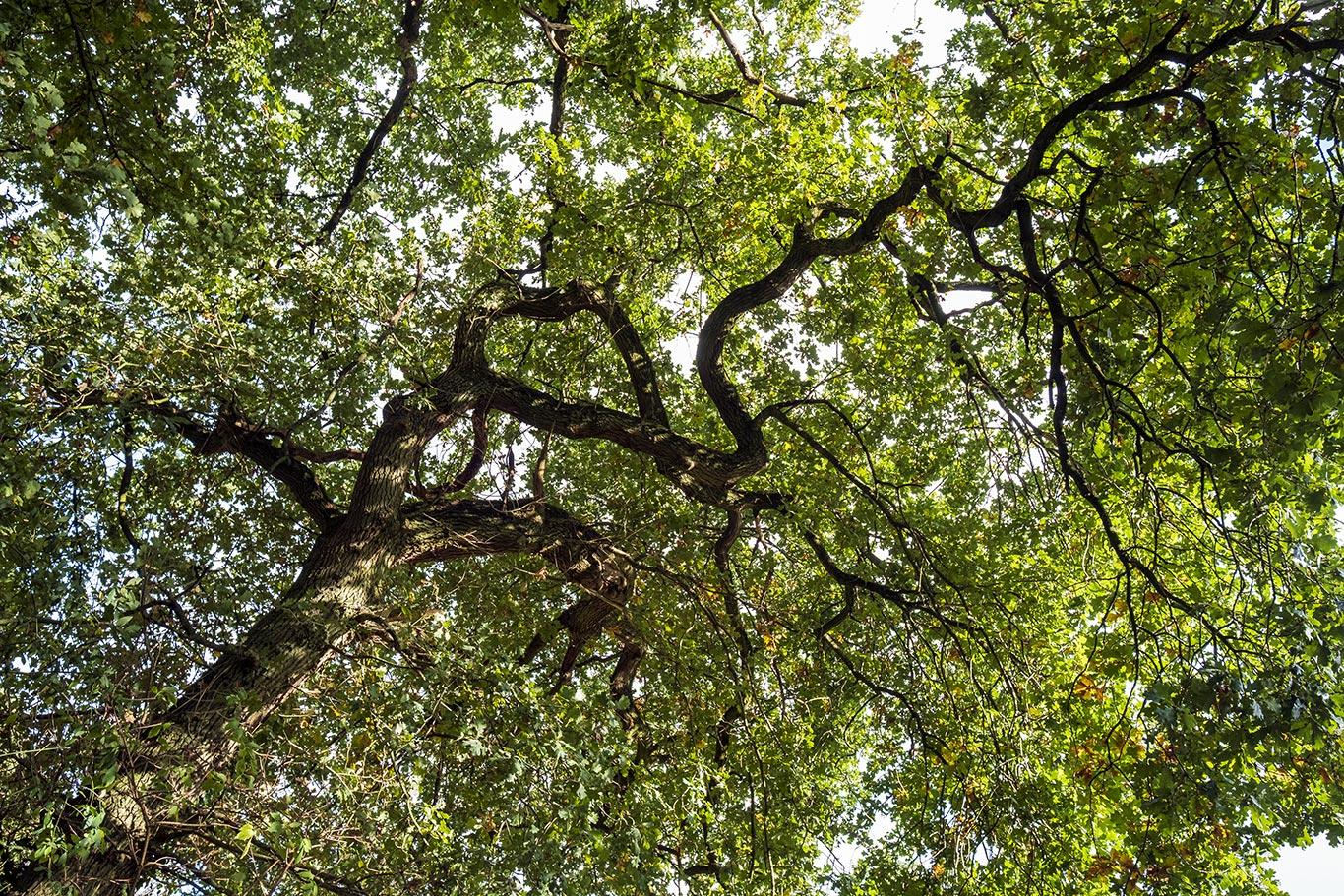 Eikenoom in het Groesbeekse bos gelegen tussen Berg en Dal en Groesbeek